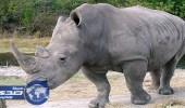 افتتاح أول مزاد قانوني في جنوب أفريقيا لبيع قرون وحيد القرن