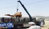 بالصور.. بلدية الشوقية تصادر 290 رأسا من الأغنام والإبل