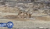 بالفيديو.. مواطن يروي ظمأ ذئب في المدينة