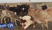 داعش يقتل قطيعا من الجاموس في العراق
