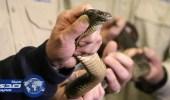 العثور على ثعابين سامة مخبأة داخل طرود ببريد أستراليا