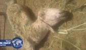 بالصور.. مرض يفتك بماشية أهالي ميسان الطائف
