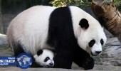 إندونيسيا تستعد لاستقبال حيوان الباندا من الصين