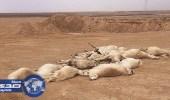 ذئب يقتل 30 رأسا من الأغنام ومربي ماشية يصطاده للعلاج