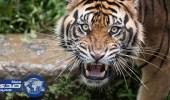 بالفيديو.. صوت زئير النمر يقتل 12 قردًا بسكتة قلبية