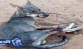 مواطن ينجح في صيد ذئب قضي على 30 رأسا من ماشيته