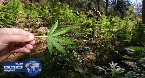 الأوروغواي تعتزم تصدير الماريجوانا الطبية
