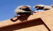 بالصور.. الكلاب والقرود تثير الذعر لطالبات جامعة بيشة في بلقرن