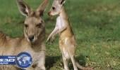 أعداد حيوان الكانجرو ضعف مواطني أستراليا
