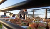 """"""" الغذاء والدواء """" تسحب عينات خضار وفواكه من المزارع لرصد بقايا المبيدات"""