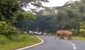 بالفيديو.. فيل يدهس حارس أمن حتى الموت