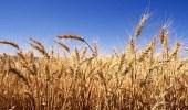 """"""" البيئة """" تعيد زراعة القمح.. وهذه الأسعار المتوقعة"""
