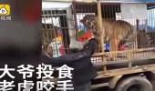 بالفيديو.. نمر يفترس يد رجل مسن حاول إطعامه