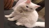 شاهد.. 10 آلاف ريال لمن يدلي بمعلومة عن قطة بيت مفقودة بالرياض