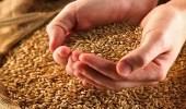 """روسيا تسعى لرفع جودة """" القمح """" لفتح سوق لها بالمملكة"""