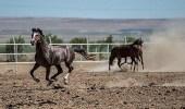 """حظر استيراد الخيول من تركيا بسبب """" الرغام """""""