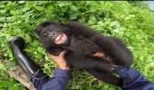 بالفيديو.. غوريلا تستمر في الضحك بسبب الدغدغة