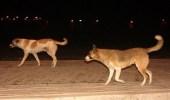 الكلاب الضالة تُهدِد الأطفال في أحياء المملكة