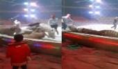 بالفيديو.. مجموعة نمور يهاجمون حصان ويحاولون افتراسه داخل سرك