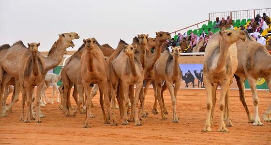 الإجازة ترفع مبيعات المطاعم بمهرجان الملك عبدالعزيز للإبل