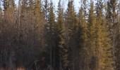 بالفيديو.. صاحب الأقدام الكبيرة يتجول بغابات كندية