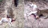 فيديو مروع لمزارع ينتقم من نمر أكل كلبه
