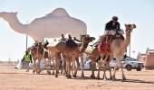 التلفزيونات والإذاعات في مهرجان الملك عبد العزيز للإبل.. لكل شيخ طريقة