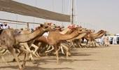 إدارة مهرجان الملك عبدالعزيز للإبل تجهز مضمارًا بطول 8 كم لمنافسات سباق الهجن