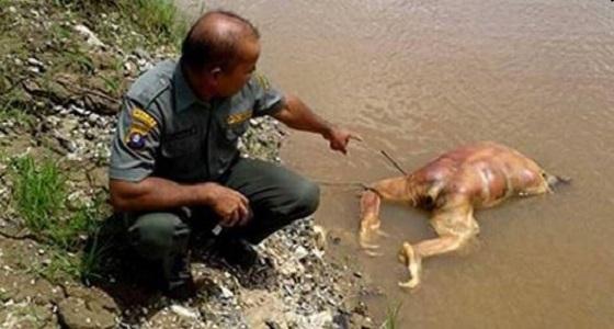 """العثور على """" إنسان غاب """" نافقا في إندونيسيا"""