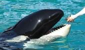 """بالفيديو.. الحوت """" ويكي """" يتحدث كالبشر"""