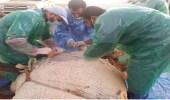 """بالصور.. انقاذ """" ناقة """" تعسرت ولادتها في مهرجان الملك عبدالعزيز"""