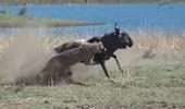 بالفيديو.. قطيع أسود يهاجم أنثى حيوان بري حامل ويلتهم جنينها