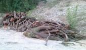 50 ألف ريال وزراعة 60 شجرة عقوبة مقاول قطع أشجاراً في السودة بعسير