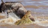 بالصور.. هجوم عنيف لتمساح على حيوانات برية لتوفير طعامه