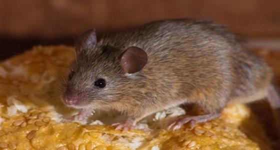 الفئران تغزو باريس و مكيفات الهواء السبب