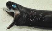 """ظهور نوع نادر من """" القرش """" المتوحش على شواطئ تايوان"""