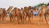 استبعاد 11 مخالفة لشروط المزاين المشاركة في مهرجان الملك عبد العزيز للإبل
