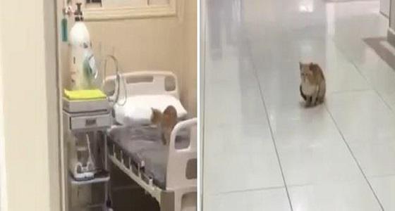 بالفيديو.. قطط تتجول داخل أحد مستشفيات الحدود الشمالية