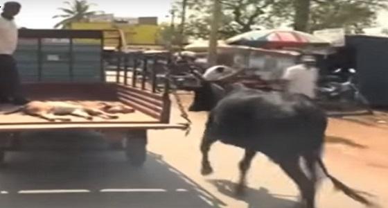 فيديو مؤثر لبقرة تلاحق سيارة تنقل صغيرها المجروح لمركز طبي