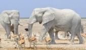 بالصور.. أفيال تحمي نفسها من الشمس بطريقة غريبة
