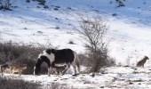 بالفيديو.. حصان يداعب مجموعة ذئاب ويدعوهم للهو معه