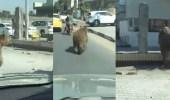بالفيديو.. دب يثير ذعر المواطنين بتجوله في طريق عام