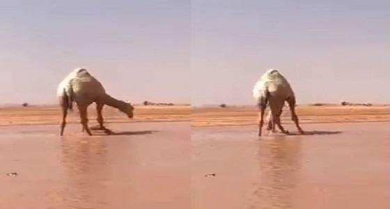 بالفيديو.. الإبل تستمتع بالسيل في الشماسية