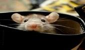 بسبب الإهمال.. مقاضاة أبوين تركا الفئران تنهش جسد رضيعتهما