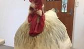 دجاجة تخضع لعملية تصحيح جنسي عقب تحولها إلى ديك