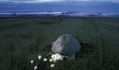 بالفيديو.. سلاحف بحرية مهددة بالانقراض تضع بيضها على شاطئ بالهند