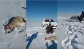 بالفيديو.. ذئب يهاجم صياد بعد تظاهره بالموت