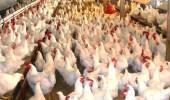 """مزارع هندية تستخدم """" مضادات حيوية """" لتسمين الدجاج"""
