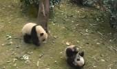 فيديو طريف لباندا تهاجم أخرى على طريقة مصارعة الثيران