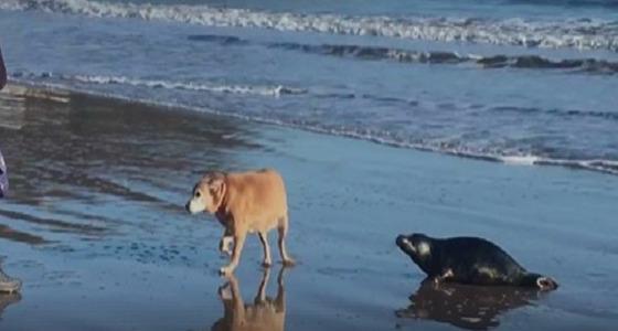 فيديو طريف لفقمة تخرج من البحر لتقبل كلبا